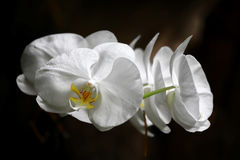 White Flowers. Group of white flowers on the dark background. Close-up, shallow focus Stock Photos