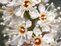White flowers. Many of spring white flowers Stock Photography