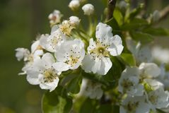 White Flowers. Small delicate white fruit flowers Royalty Free Stock Image