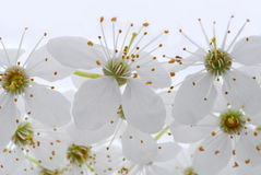 White Flowers Royalty Free Stock Photo