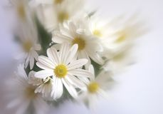 White flowers. Bouquet of white chrysanthemums can be used as a separate picture or as a background stock image