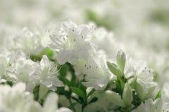 White flowers. Beautiful white flowers ofazalea in blooming, background Stock Photos