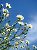 White flowers. Spring white flowers against blue sky Stock Image