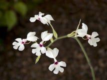 White flowers. Tiny white flowers, dark background Stock Photos