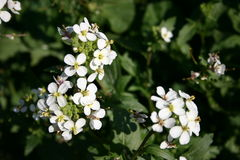 White Flowers. White little flowers from a spanish garden royalty free stock image
