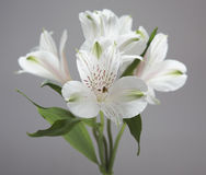 White flowers. White soft flowers on gray background Royalty Free Stock Images
