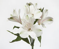 White flowers. On white background Royalty Free Stock Photography