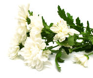 White flowers. With leaves green on white background. Isolation on white Royalty Free Stock Photography