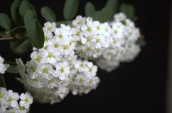 White Flowers. Isolated on black Royalty Free Stock Images