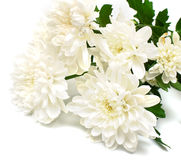 White flowers. With leaves green on white background. Isolation on white Stock Image