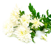 White flowers. With leaves green on white background. Isolation on white Royalty Free Stock Image