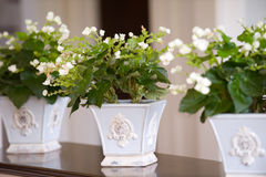 White Flowers. Three flower pots in home Stock Photography
