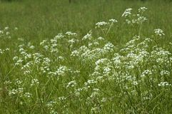 White flowers. In green grass Royalty Free Stock Photos