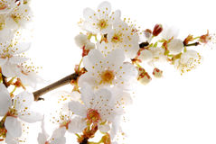 White Flowers Stock Image