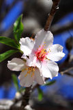 White flowers of Almond tree blossom Royalty Free Stock Photography