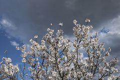 Almond tree blossom. White flowers of almond tree in spring Stock Photography