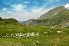 White flowers in an Alpine meadow Stock Photo