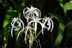 White flowers. American Crinum. White flowers growing on the banks of Rio Dulce. Common names for this species include Florida swamp-lily, string lily, and stock image