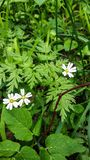 White flowers anemone Anemone nemorosa in a wild nature. Against the background of green vegetation of leaves closeup. White flowers anemone Anemone nemorosa in stock images