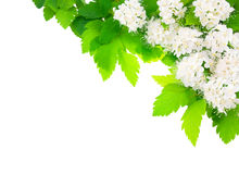 White flowers angular horizontal frame. Royalty Free Stock Photography