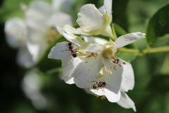 White flowers and ants in the garden Royalty Free Stock Images