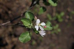 White flowers of apple. White flowers of columnar apple tree Stock Photography