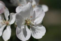 White flowers of apple. White flowers of columnar apple tree Stock Photos