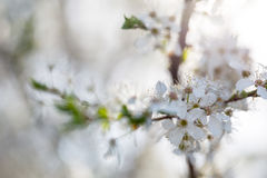 White flowers of apple Royalty Free Stock Image