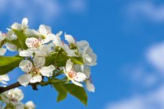 White flowers of apple tree Royalty Free Stock Photos