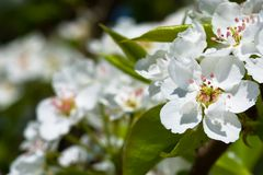 White flowers of apple tree Royalty Free Stock Images