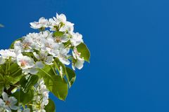 White flowers of apple tree Stock Images