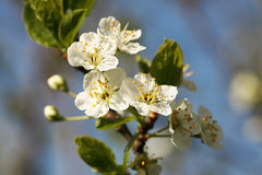 White flowers of an apple tree Stock Photos