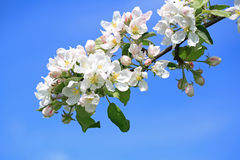 White Flowers of Apple Tree and Blue Sky Royalty Free Stock Photos