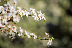 White flowers of apple tree on blur background Royalty Free Stock Photos