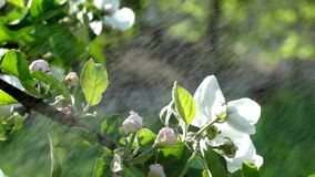 Flowers of apple tree branches in the summer rain the wind. White flowers of apple tree branches in the summer rain the wind stock video