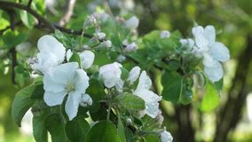 White flowers of apple tree branches in the summer rain the wind. Warm summer rain stock video