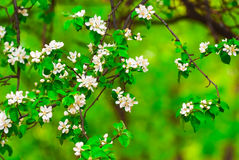 White flowers apple tree. Green leaves beautiful desktop background high resolution Royalty Free Stock Photos