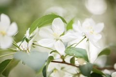 White flowers on an apple tree royalty free stock photos