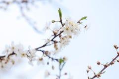 White flowers of apple tree on light blue sky Stock Photos