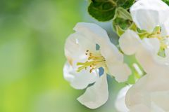 White apple flowers on the tree. Royalty Free Stock Image