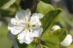 White flowers of apple tree spring Royalty Free Stock Image