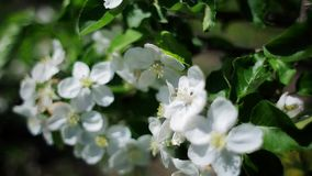 White flowers of apple-tree stock video footage