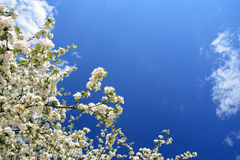 White flowers(apple-tree), spring, Poland. White flowers(apple-tree) and blue sky Royalty Free Stock Photo