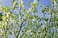 White flowers of apple trees against the blue sky Stock Photography