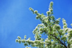 White flowers of apple trees against the blue sky Royalty Free Stock Photo