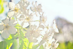 White flowers of apple trees against Royalty Free Stock Photos