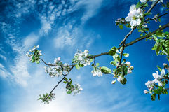 White flowers of apple trees a blue sky background and the rising sun early on a spring morning Royalty Free Stock Image