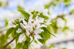 White flowers of apple trees in spring Royalty Free Stock Photos