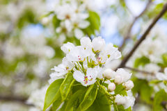 White flowers of apple trees in spring Stock Photo