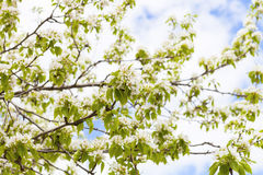 White flowers of apple trees in spring Stock Image